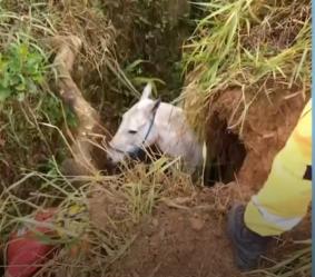 Poços de Caldas: cavalo é resgatado de vala