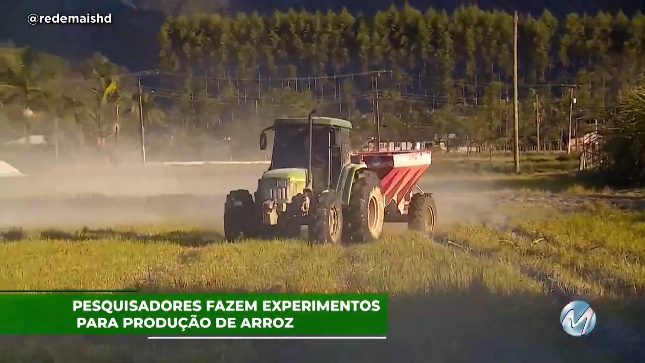 Pesquisadores fazem experimentos para produção de arroz