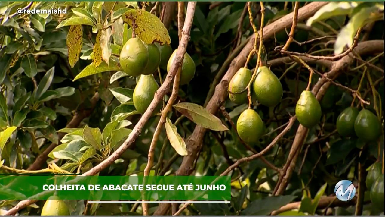 Colheita de abacate segue até junho