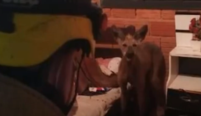 Lobo-guará é resgatado por bombeiros dentro de uma casa em Andradas