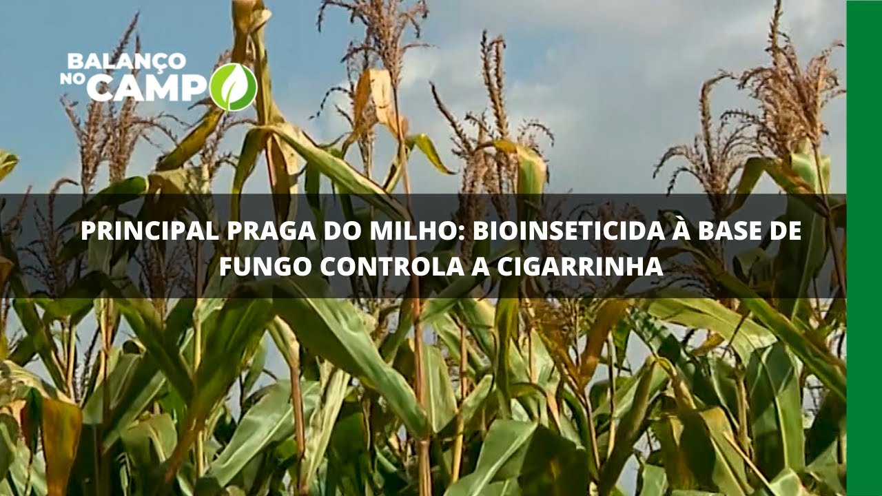 Principal praga do milho: bioinseticida à base de fungo controla a cigarrinha