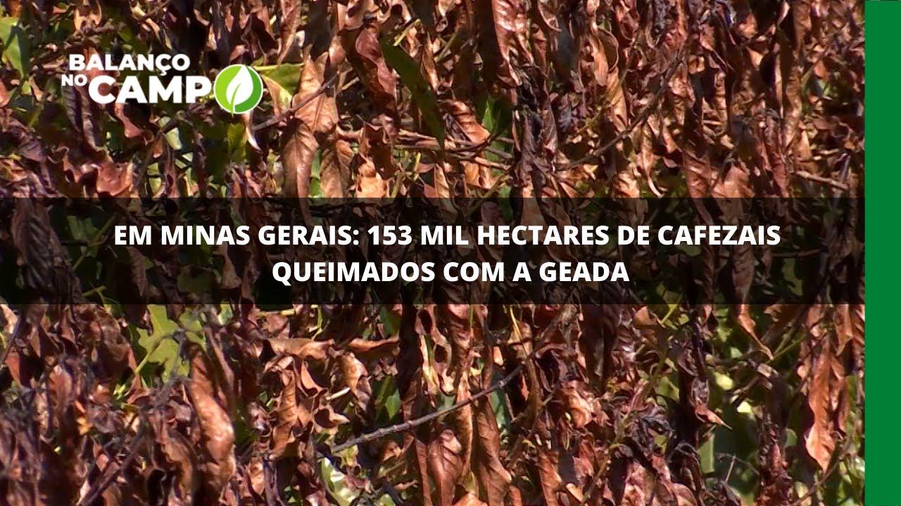 Em Minas Gerais: 153 mil hectares de cafezais queimados com a geada