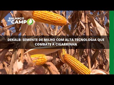 Dekalb: semente de milho com alta tecnologia que combate a cigarrinha