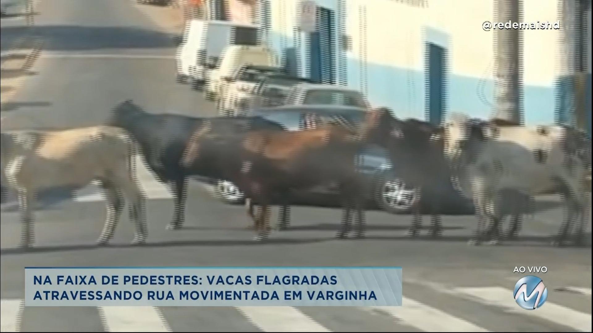 vacas são flagradas atravessando rua movimentada em Varginha