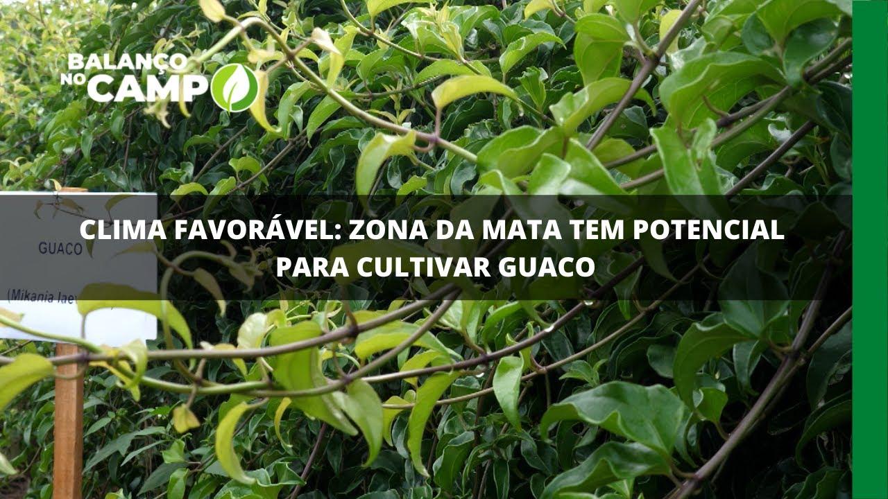 Clima favorável: zona da mata tem potencial para cultivar guaco